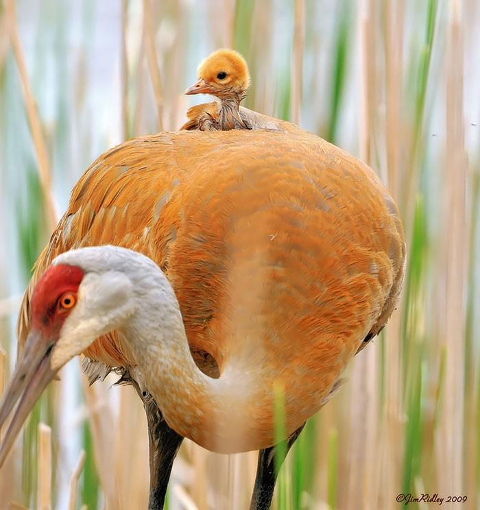 Muôn kiểu bảo bọc con của các loài chim trên thế giới - ảnh 7
