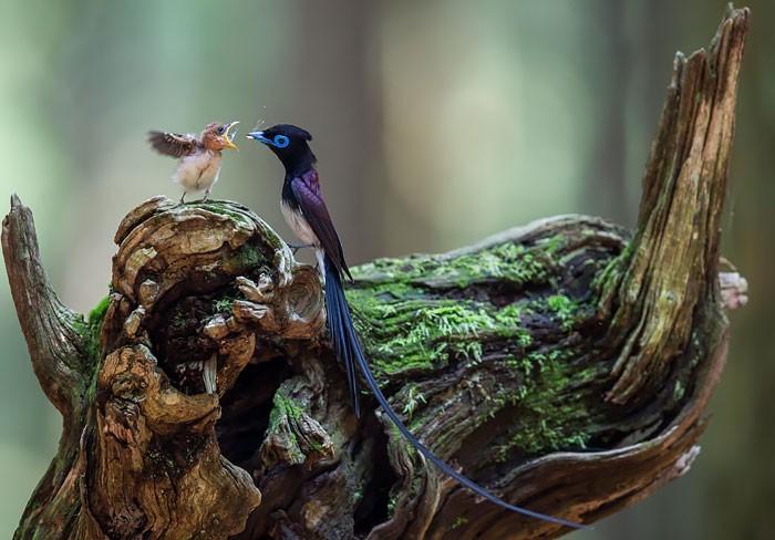 Muôn kiểu bảo bọc con của các loài chim trên thế giới - ảnh 10