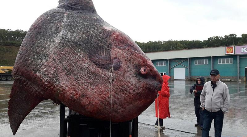 Bắt được cá mặt trăng khổng lồ nặng 1,1 tấn ở Nga - ảnh 1