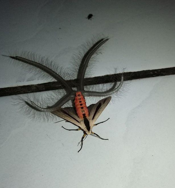 Dân mạng phát hoảng vì bướm kỳ dị ở Indonesia - ảnh 1