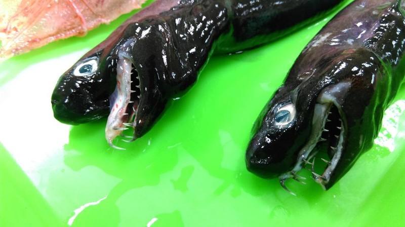 Bắt được cá mập nhìn như thể ... 'ngoài hành tinh' - ảnh 2