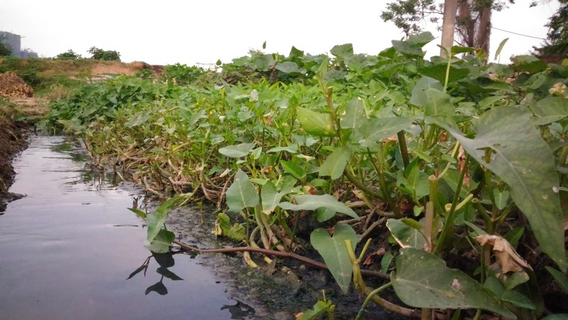 Rau xanh trồng bằng nước đen ngòm, bốc mùi hôi thối - ảnh 10