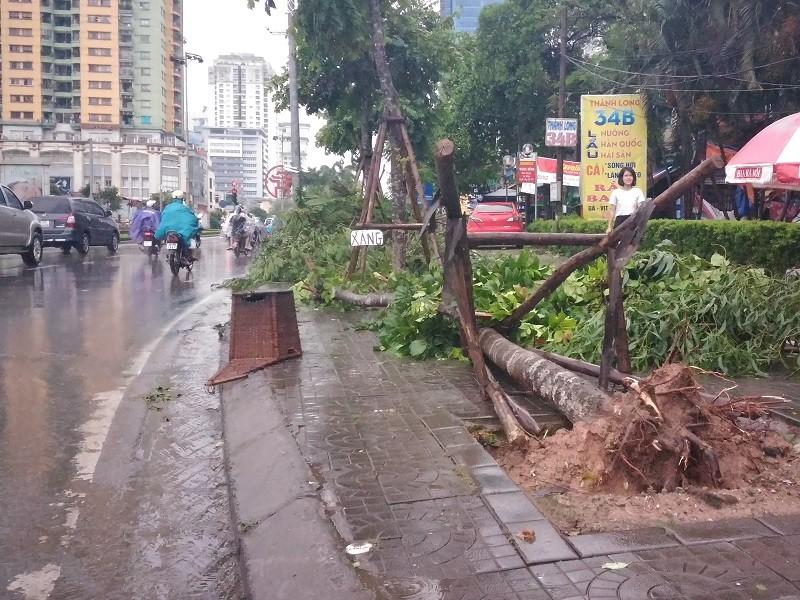 Cây mới trồng trên đường Nguyễn Chí Thanh đua nhau bật gốc sau bão - ảnh 2