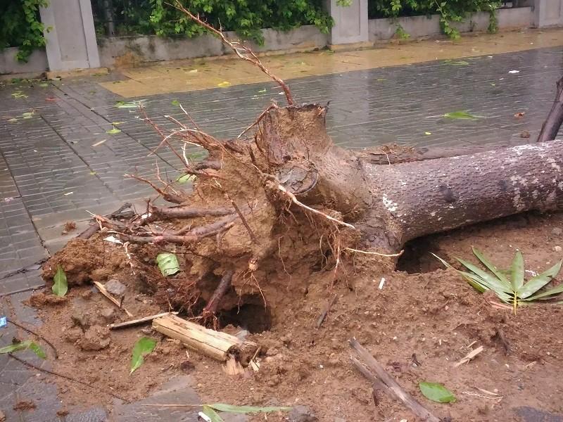 Cây mới trồng trên đường Nguyễn Chí Thanh đua nhau bật gốc sau bão - ảnh 4