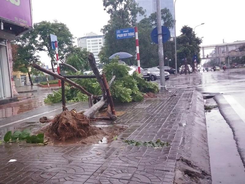 Cây mới trồng trên đường Nguyễn Chí Thanh đua nhau bật gốc sau bão - ảnh 1