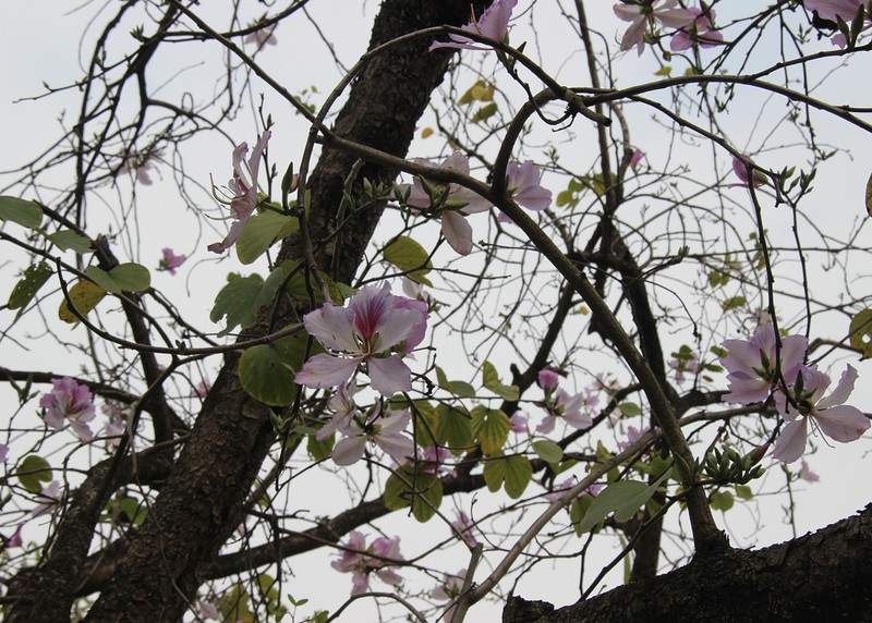 Thiếu nữ Hà thành đẹp mê mẩn bên hoa ban Tây Bắc - ảnh 4