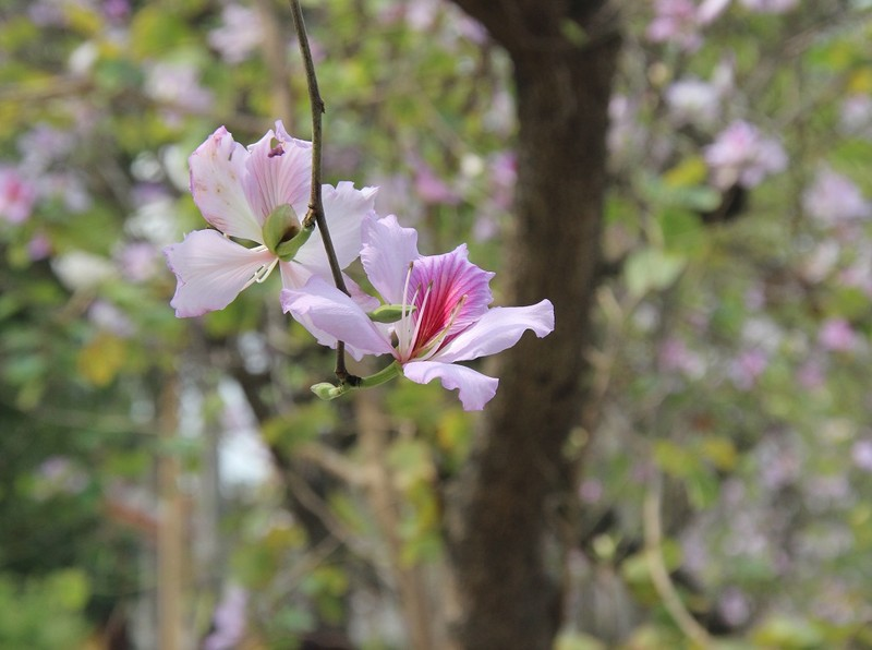 Thiếu nữ Hà thành đẹp mê mẩn bên hoa ban Tây Bắc - ảnh 7
