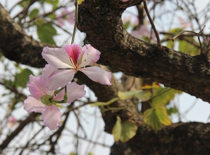 Thiếu nữ Hà thành đẹp mê mẩn bên hoa ban Tây Bắc - ảnh 10
