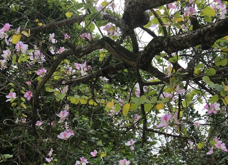 Thiếu nữ Hà thành đẹp mê mẩn bên hoa ban Tây Bắc - ảnh 8