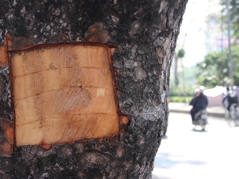 Hàng loạt cây xà cừ bị lột vỏ để… chữa bệnh ngứa? - ảnh 3