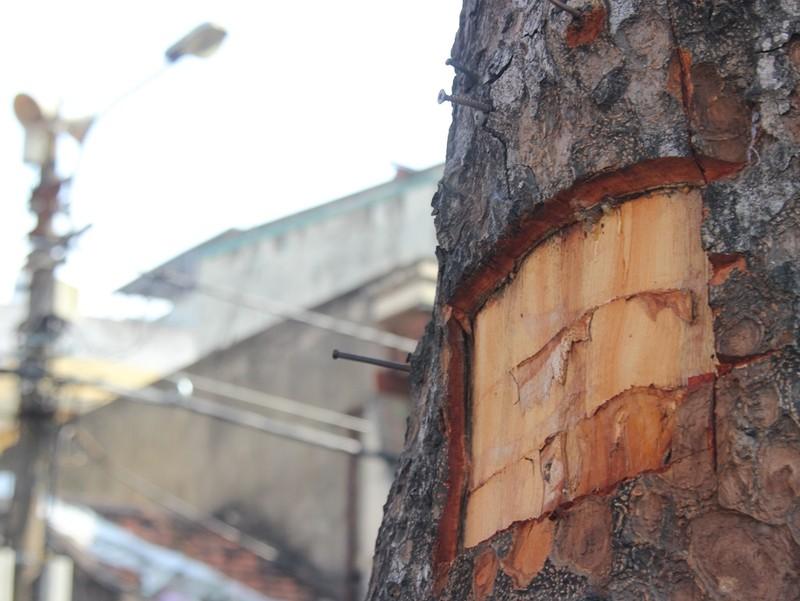Hàng loạt cây xà cừ bị lột vỏ để… chữa bệnh ngứa? - ảnh 4