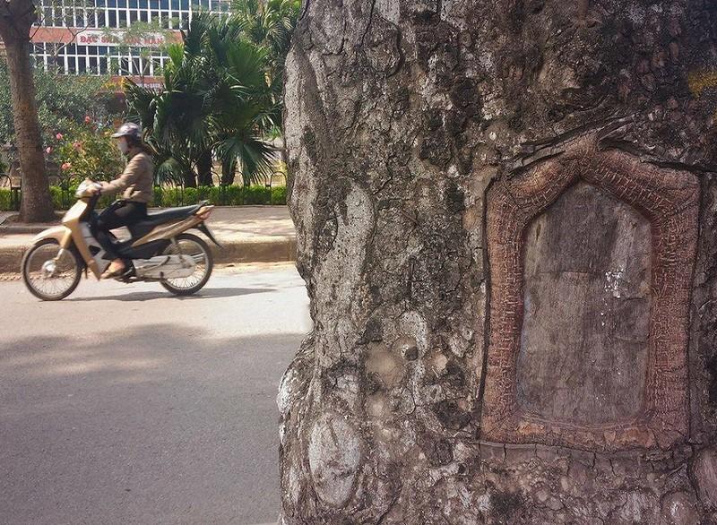 Hàng loạt cây xà cừ bị lột vỏ để… chữa bệnh ngứa? - ảnh 6
