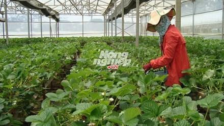 Thu hoạch dâu tây Pháp trong vườn Biofresh.