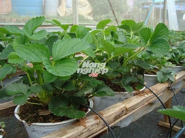 Giống dâu tây lớn 'như thổi', trồng sau 5 tuần thu hoạch - ảnh 2