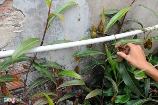 Tận thấy thú chơi 'cây ăn thịt' ở Sài Gòn - ảnh 1