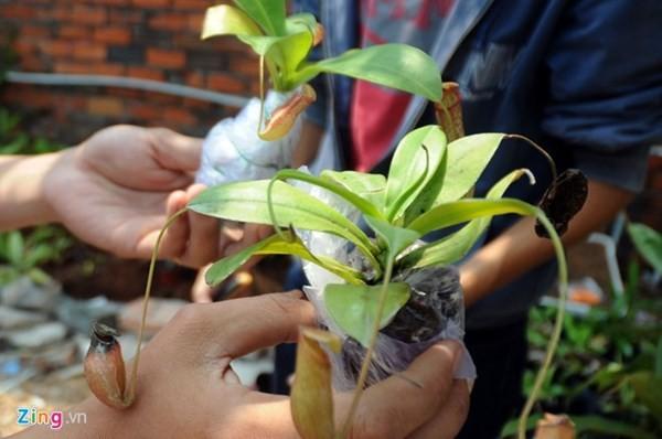 Tận thấy thú chơi 'cây ăn thịt' ở Sài Gòn - ảnh 8