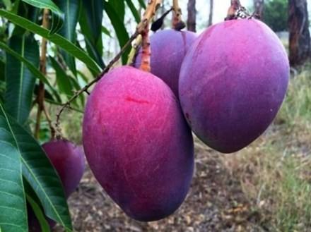 Một trung tâm chuyển giao công nghệ nông nghiệp Thái Lan đã lai tạo ra một giống xoài màu tím lạ mắt. Hình dáng quả và lõi vẫn giống các loại xoài thường thấy, tuy nhiên vỏ xoài khi chín lại có màu tím.