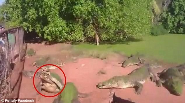 Cá sấu điên cuồng lao vào tấn công, cắn chân đồng loại - ảnh 1