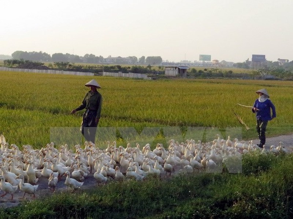 Nam Định chính thức công bố có dịch cúm gia cầm H5N6 - ảnh 1