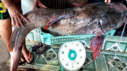 Con cá lăng đuôi đỏ nặng 43 kg. Ảnh: Kh.Uyên