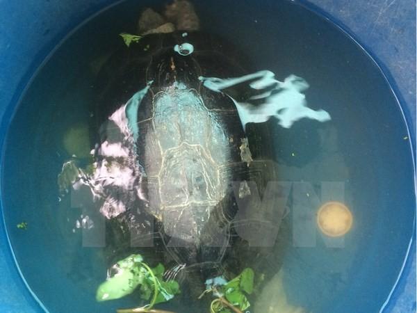 Bắt được 'cụ rùa' hơn 50 tuổi trong ao ở Bạc Liêu - ảnh 1