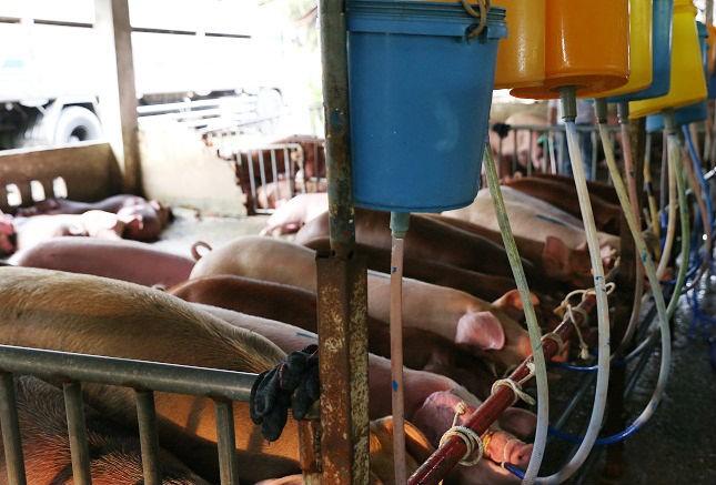 Hàng trăm con heo bị tiêm thuốc 'có nguy cơ gây ung thư tủy'  - ảnh 1