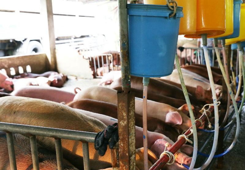 Có hơn 17% tổng số cơ sở nuôi heo sử dụng chất cấm - ảnh 1
