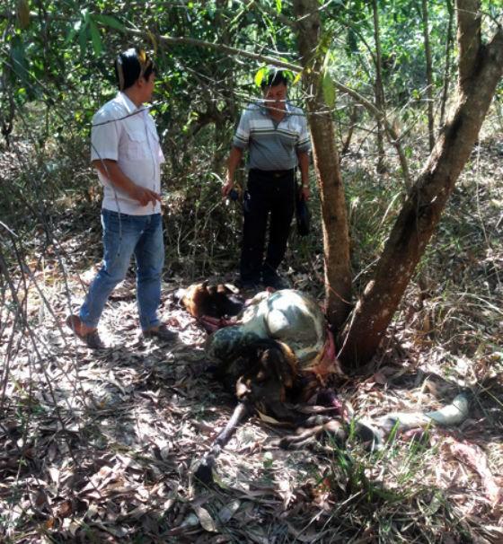 Cơ quan chức năng khám nghiệm hiện trường vụ bò tót bị bắn chết. Ảnh: TT